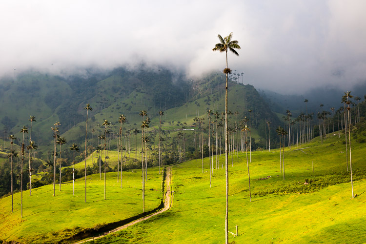 Not far from Salento is the Cocora valley, which is full of the tallest wax palm trees