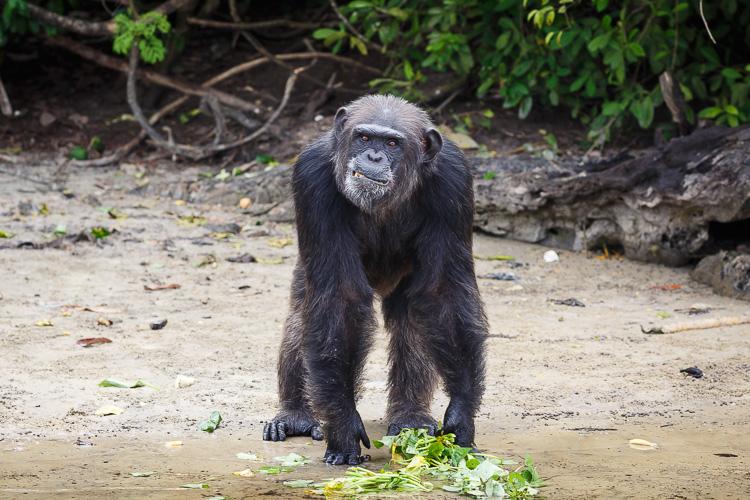 Liberia Chimpanzee